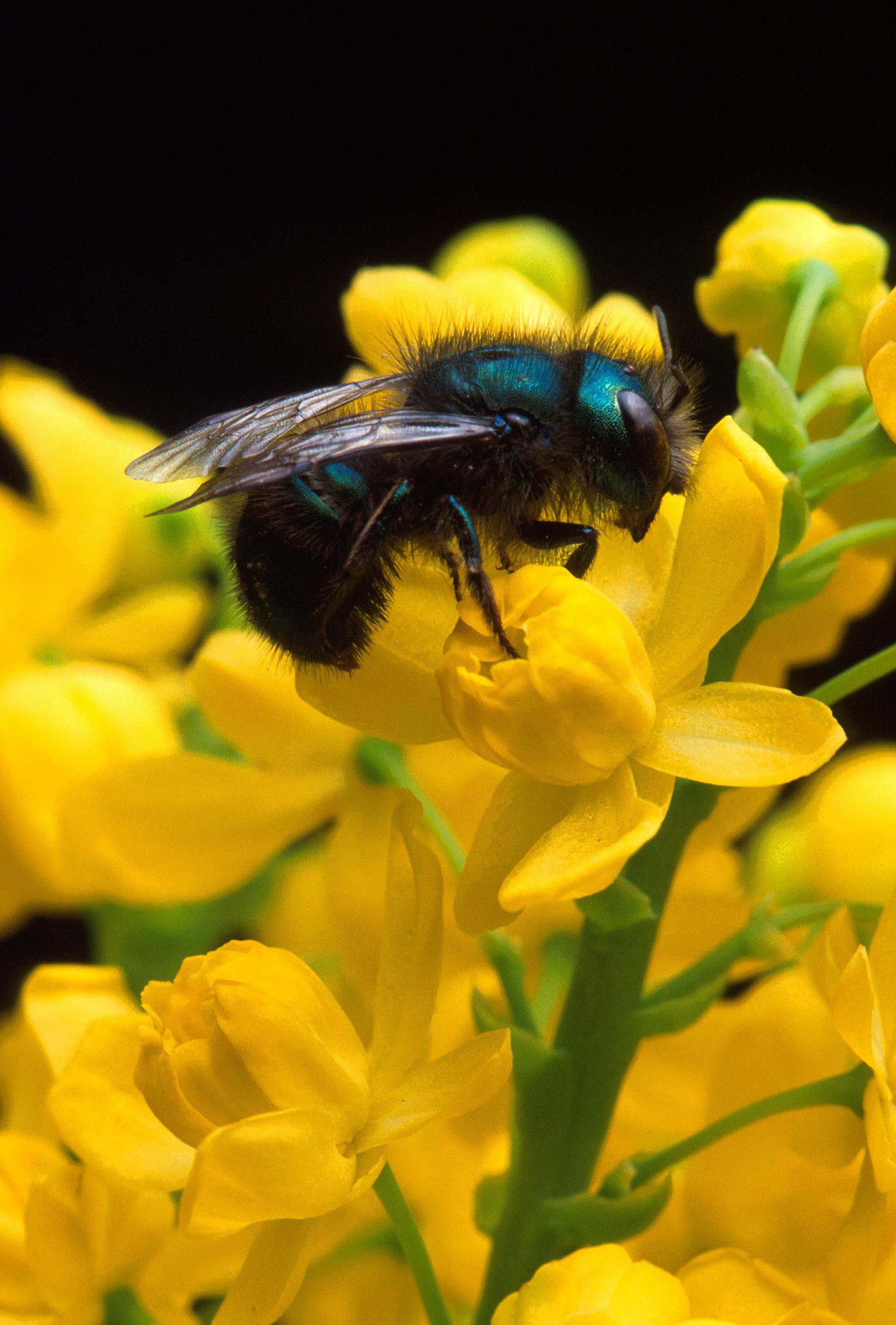 Blueberry Bee